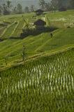 ρύζι της Ινδονησίας πεδίων Στοκ Εικόνες