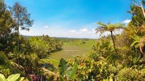 ρύζι της Ινδονησίας πεδίων του Μπαλί Στοκ Φωτογραφίες