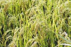 Ρύζι της Jasmine στην Ταϊλάνδη. Στοκ εικόνες με δικαίωμα ελεύθερης χρήσης