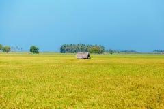 Ρύζι, τομέας ρυζιού, μπλε ουρανός, Σρι Λάνκα Στοκ Εικόνα