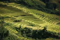 Ρύζι τομέων πεζουλιών στην εποχή συγκομιδών Στοκ Εικόνα