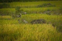 Ρύζι τομέων πεζουλιών Στοκ φωτογραφία με δικαίωμα ελεύθερης χρήσης