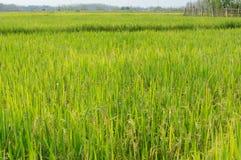Ρύζι τομέων στην Ταϊλάνδη Στοκ Εικόνες
