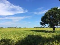 Ρύζι τομέων Στοκ φωτογραφίες με δικαίωμα ελεύθερης χρήσης