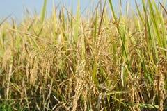 Ρύζι του Μπαλί Στοκ φωτογραφία με δικαίωμα ελεύθερης χρήσης