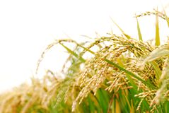 ρύζι φυτών Στοκ εικόνες με δικαίωμα ελεύθερης χρήσης
