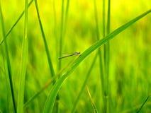 ρύζι φύσης 4 πεδίων Στοκ Εικόνα