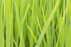 Ρύζι φύλλων Στοκ εικόνα με δικαίωμα ελεύθερης χρήσης