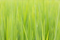 Ρύζι φύλλων Στοκ φωτογραφία με δικαίωμα ελεύθερης χρήσης