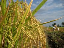 ρύζι χωρών Στοκ φωτογραφία με δικαίωμα ελεύθερης χρήσης