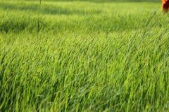 Ρύζι στοκ φωτογραφίες με δικαίωμα ελεύθερης χρήσης