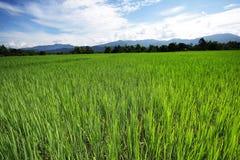 ρύζι 3 πεδίων Στοκ εικόνα με δικαίωμα ελεύθερης χρήσης