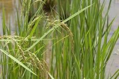 Ρύζι στοκ εικόνα με δικαίωμα ελεύθερης χρήσης