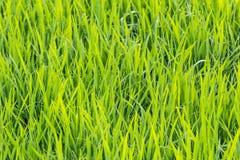 Ρύζι ελεύθερη απεικόνιση δικαιώματος