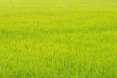 Ρύζι απεικόνιση αποθεμάτων
