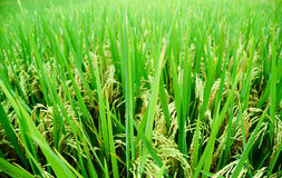 Ρύζι 03 στοκ εικόνα