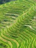 ρύζι 6 πεδίων Στοκ Εικόνες