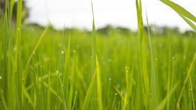 Ρύζι Στοκ Εικόνα
