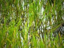 Ρύζι Στοκ Φωτογραφίες