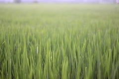 Ρύζι Oryza SSP στοκ εικόνα