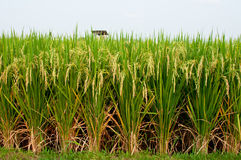 ρύζι padi πεδίων Στοκ Φωτογραφία
