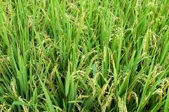 ρύζι padi Στοκ φωτογραφίες με δικαίωμα ελεύθερης χρήσης