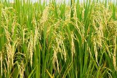 ρύζι padi Στοκ φωτογραφία με δικαίωμα ελεύθερης χρήσης
