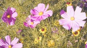 Ρύθμιση 2 λουλουδιών Cosmea στοκ εικόνες