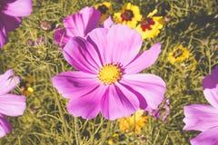 Ρύθμιση 3 λουλουδιών Cosmea στοκ φωτογραφίες
