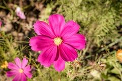Ρύθμιση 4 λουλουδιών Cosmea στοκ εικόνες