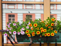 Ρύθμιση λουλουδιών κιβωτίων παραθύρων Αγία Πετρούπολη Στοκ Φωτογραφίες