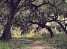 Δρύινα δέντρα με το ισπανικό βρύο Στοκ εικόνα με δικαίωμα ελεύθερης χρήσης