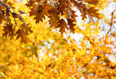 Δρύινα φύλλα φθινοπώρου σε έναν κλάδο με τα βελανίδια Στοκ Εικόνα