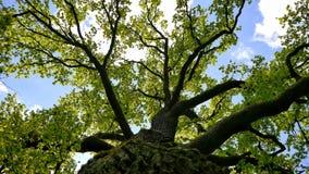 δρύινη άποψη γωνίας δέντρων χαμηλή Στοκ Εικόνες