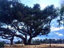 δρύινο δέντρο εικονογράφων μορφής 8 πρόσθετο eps Στοκ Φωτογραφία