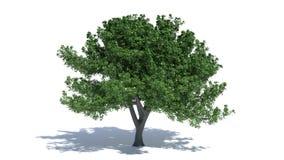 δρύινο δέντρο εικονογράφων μορφής 8 πρόσθετο eps Στοκ εικόνα με δικαίωμα ελεύθερης χρήσης