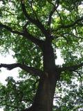 δρύινο δέντρο Στοκ Εικόνα