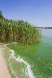 Ρύπανση των υδάτων, φυκώδεις ανθίσεις, πράσινο νερό στη λίμνη Στοκ εικόνες με δικαίωμα ελεύθερης χρήσης