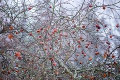 Σάπια μήλα σε ένα δέντρο Στοκ Φωτογραφία