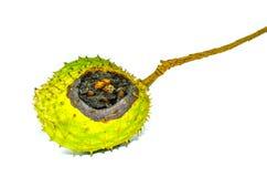 Σάπια στρογγυλή τραχιά κρέμα Apple ή Soursop Annona muricata Λ η ανασκόπηση απομόνωσε το λευκό Στοκ Εικόνα