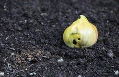 Σάπιες ντομάτες στο έδαφος με τις δυσάρεστες τρύπες με Στοκ Εικόνες