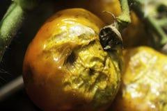 σάπιες ντομάτες στοκ εικόνες