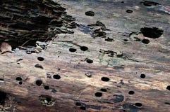 σάπιο δάσος σύστασης Στοκ φωτογραφίες με δικαίωμα ελεύθερης χρήσης