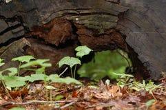 Σάπιο, επιδεινωμένος κούτσουρο στοκ φωτογραφία με δικαίωμα ελεύθερης χρήσης