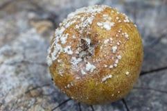 Σάπιο μήλο με τη φόρμα Στοκ Εικόνες