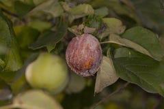 Σάπιο μήλο στο δέντρο Στοκ εικόνα με δικαίωμα ελεύθερης χρήσης