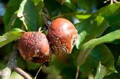 Σάπιο μήλο Στοκ φωτογραφία με δικαίωμα ελεύθερης χρήσης