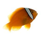 σέλα ephippium amphiprion anemonefish Στοκ εικόνες με δικαίωμα ελεύθερης χρήσης