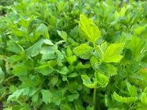 Σέλινο, Apium graveolens Λ , Φυτικός κήπος, βοτανική κουζίνα για το μαγείρεμα στοκ φωτογραφία με δικαίωμα ελεύθερης χρήσης
