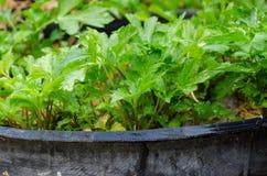 Σέλινο (Apium graveolens) στο δοχείο ροδών Στοκ εικόνα με δικαίωμα ελεύθερης χρήσης
